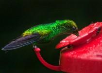Sprecher Kolibri